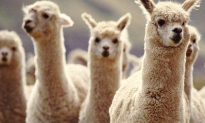 Antibodies from llamas found to stop coronavirus entering human cells